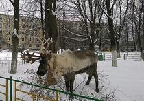 Владелец северного оленя, живущего в Лобне, успокоил зоозащитников