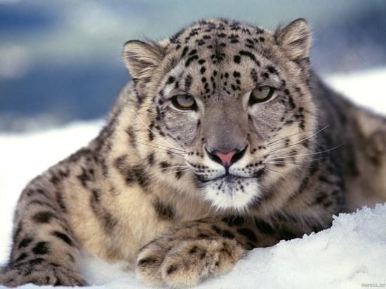 Ирбис — единственная кошка, которая, угодив в капкан, предпочтет удушиться, чем попасть в руки к браконьерам